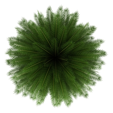 top view of canary island date palm tree isolated on white background photo