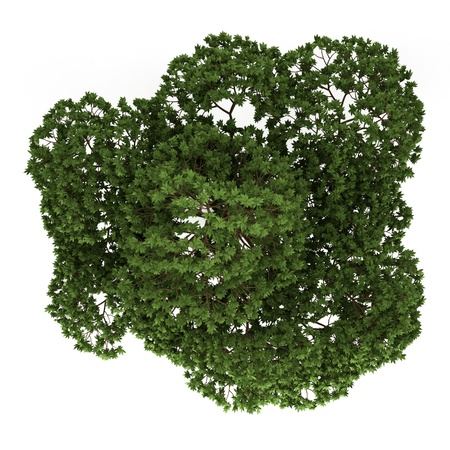 top view of australian Boab tree isolated on white background