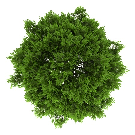 top view of european ash tree isolated on white background photo