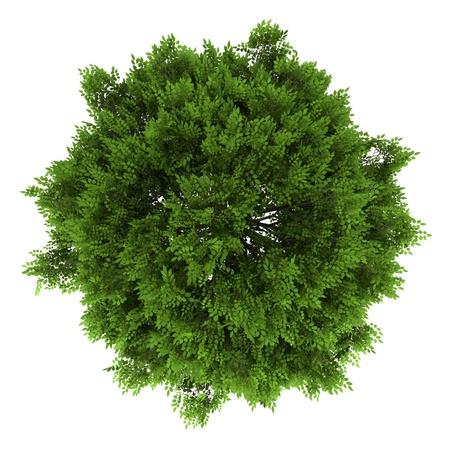 Vue de dessus de frêne européen isolé sur fond blanc Banque d'images - 14890712