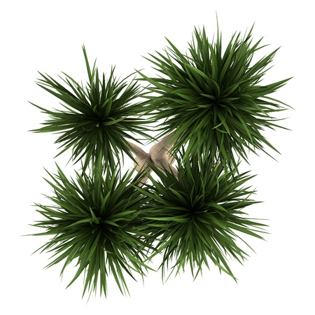 top view of yucca palm tree isolated on white background