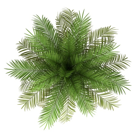 top view of date palm tree isolated on white background