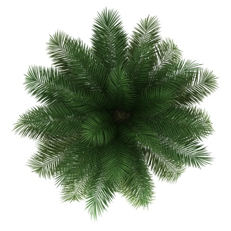 top view of chilean wine palm tree isolated on white background