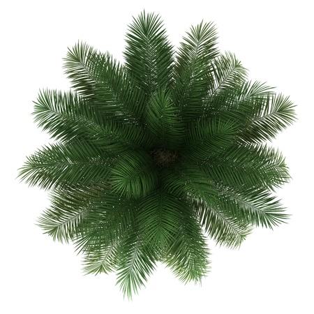 arbre vue dessus: vue de dessus de l'arbre du vin de palme chilienne isol� sur fond blanc