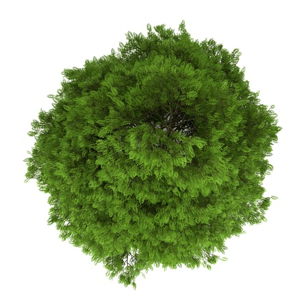 top view of tree of heaven isolated on white background photo