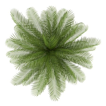 oil palm: top view of oil palm tree isolated on white background Stock Photo
