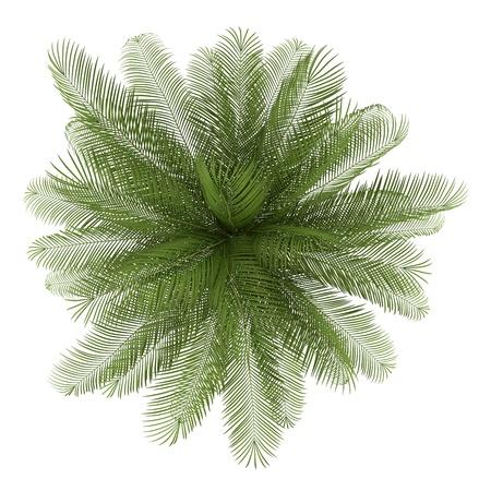 vis�o: vista superior da palmeira de �leo no fundo branco