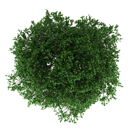 top view of hornbeam tree isolated on white background