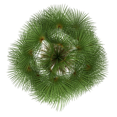 top view of mexican fan palm tree isolated on white background