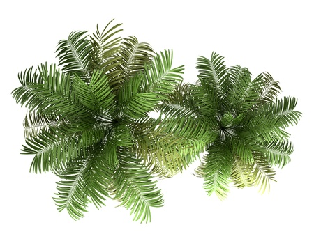 top view of two areca palm trees isolated on white background Stock Photo - 15150088