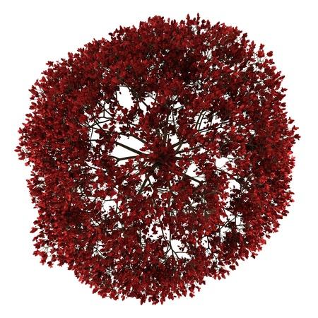 ペルシャ アイアンウッドの木の白い背景で隔離のトップ ビュー