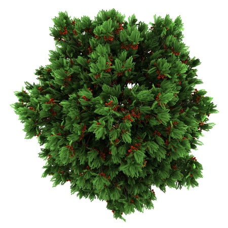top view of european rowan tree isolated on white background