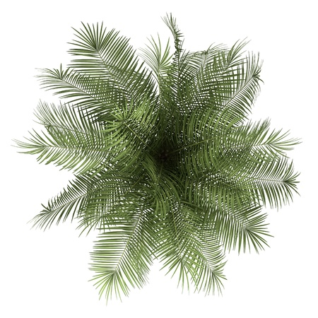arbre vue dessus: vue de dessus de palmier isolé sur fond blanc Banque d'images