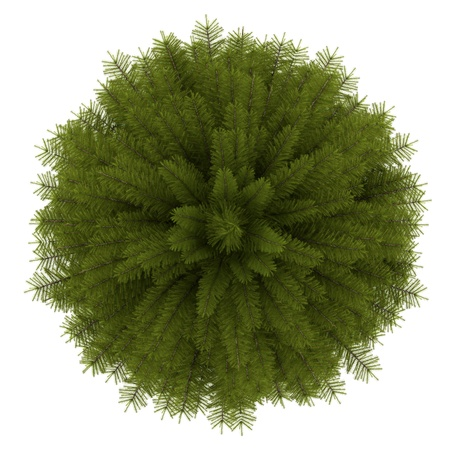 top view plant: top view of norway spruce tree isolated on white background