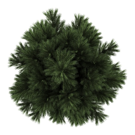 top view of european black pine tree isolated on white background photo
