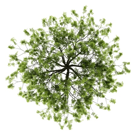 top view of willow tree isolated on white background photo