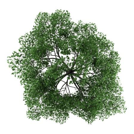 arbre vue dessus: vue de dessus du chêne pédonculé isolé sur fond blanc