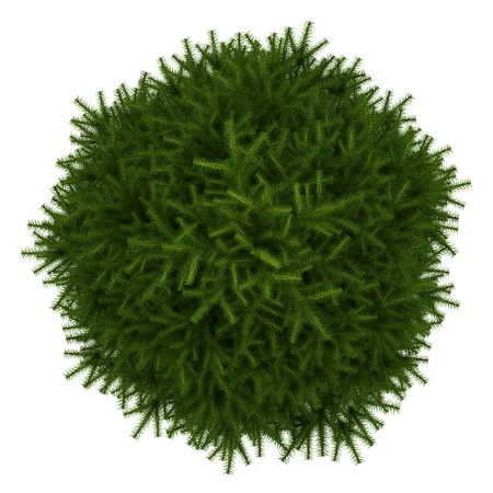 top view of momi fir tree isolated on white background photo