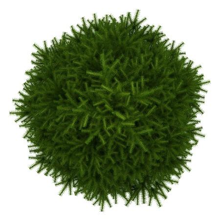 evergreen branch: vista desde arriba de momi abeto aislado sobre fondo blanco