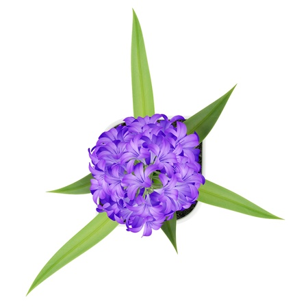 top view of purple flower in pot isolated on white background photo