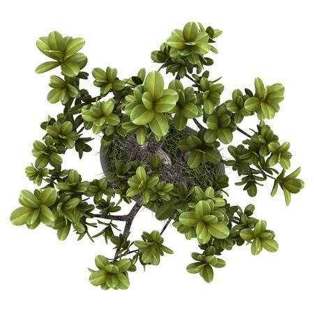 bovenaanzicht mens: bovenaanzicht van bonsai plant in pot geïsoleerd op witte achtergrond Stockfoto