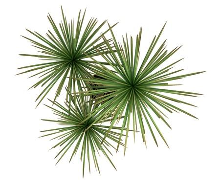 Draufsicht dracaena Pflanze im Topf isoliert auf weißem Hintergrund Standard-Bild