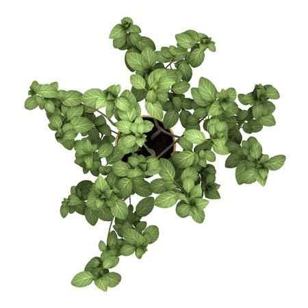 Draufsicht dekorative Pflanze im Topf isoliert auf weißem Hintergrund