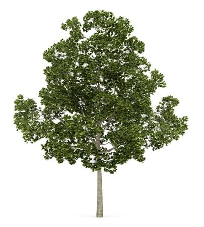 acer: acer platanoides tree isolated on white background