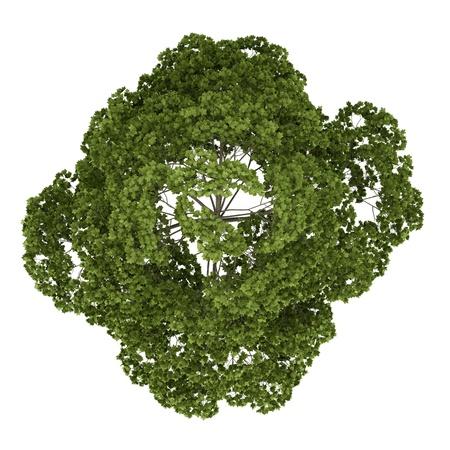 Draufsicht Spitzahorn Baum isoliert auf weißem Hintergrund Standard-Bild