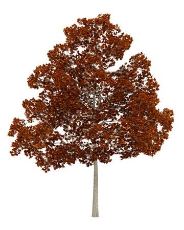 acer platanoides: fall norway maple tree isolated on white background Stock Photo