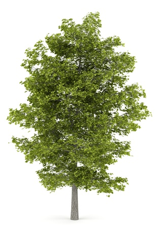 lime: common lime tree isolated on white background Stock Photo