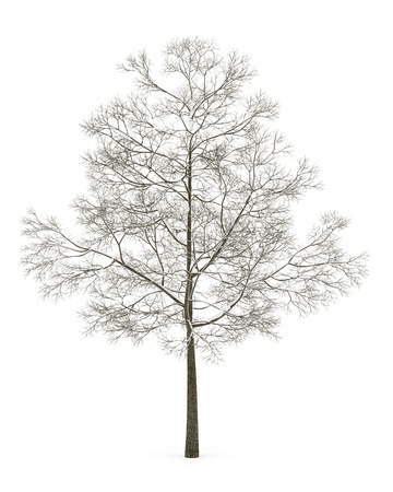 acer platanoides: winter fall norway maple tree isolated on white background