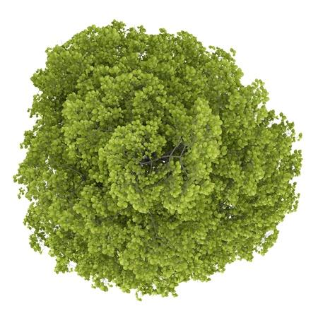 arbre vue dessus: vue de dessus du tilleul commun isol� sur fond blanc Banque d'images