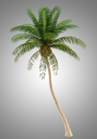 coconut palm tree isolated on gray background  photo