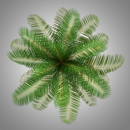 subtropical plants: top view of coconut palm tree isolated on gray background