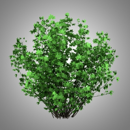 guelder: guelder rose bush isolated on gray background