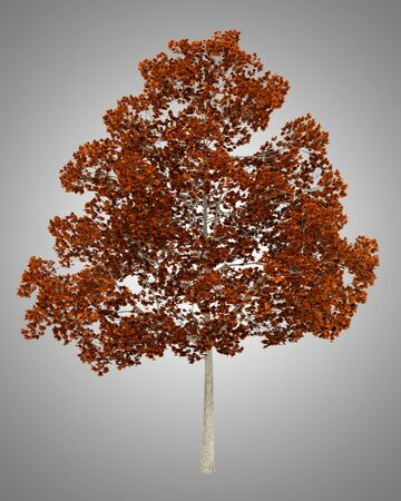 norway maple: fall norway maple tree isolated on gray background Stock Photo