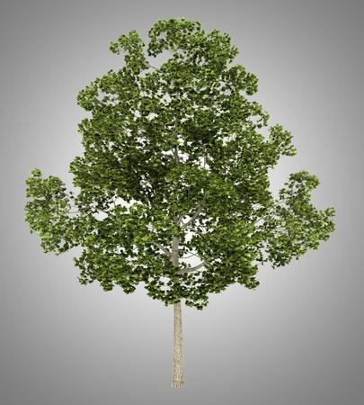 acer platanoides: platanoides tree isolated on gray background Stock Photo