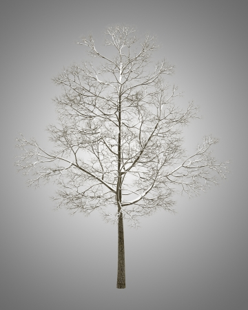 acer platanoides: winter fall norway maple tree isolated on gray background Stock Photo