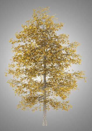 basswood: fall common lime tree isolated on gray background
