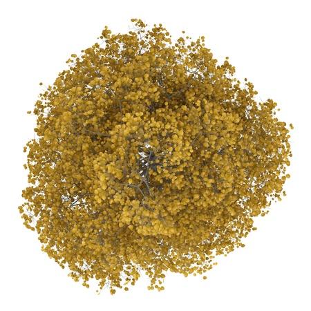 白の背景に分離された一般的なライムの木秋のトップ ビュー