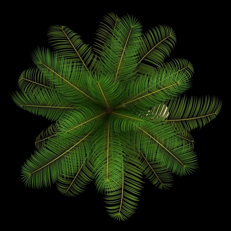 subtropical plants: top view of coconut palm tree isolated on black background Stock Photo