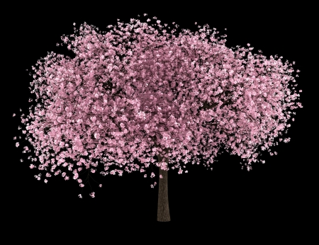 sour cherry tree isolated on black background Stock Photo - 19237556