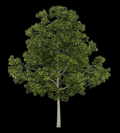 acer platanoides: acer platanoides tree isolated on black background Stock Photo