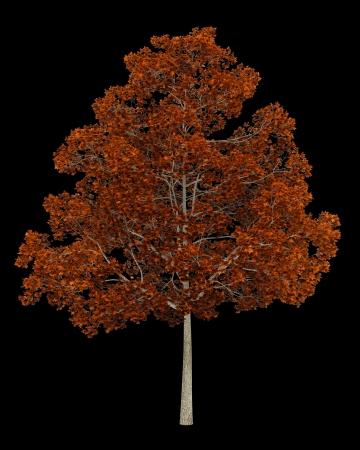 fall norway maple tree isolated on black background Stock Photo - 19237545