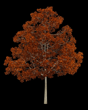 norway maple: fall norway maple tree isolated on black background