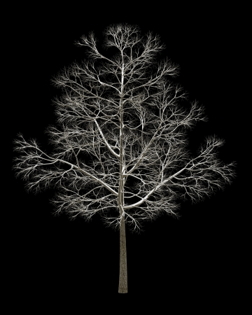 norway maple: winter fall norway maple tree isolated on black background