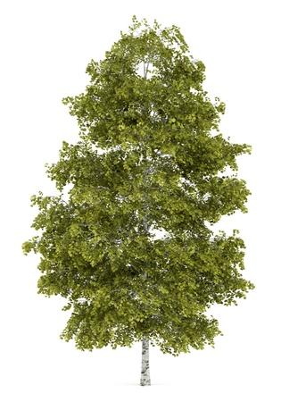 birch tree: birch tree isolated on white background
