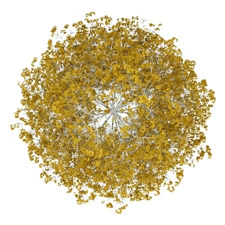 Vue de dessus de bouleau d'automne isolé sur fond blanc Banque d'images - 19319280
