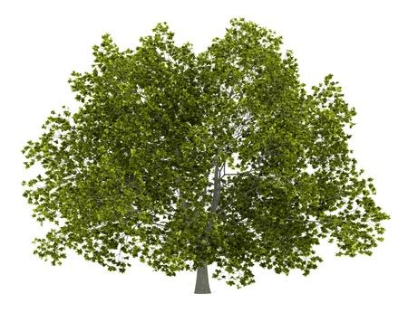 Amerikaanse beuk boom op een witte achtergrond